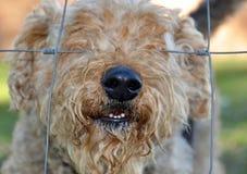 Hundenase durch Zaun Stockfotografie