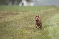 Hundengelskacockerspaniel Arkivfoton
