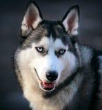 Hundepapageienschlittenhund Lizenzfreies Stockbild