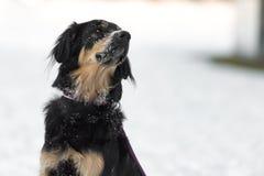 Hundeporträt in einem weißen Winterhintergrund Bernese Gebirgshund lizenzfreies stockbild