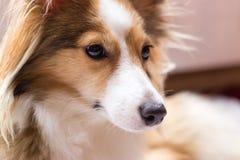 Hundeporträt eines sheltie Stockbilder