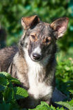 Hundeporträt im Sommer Lizenzfreies Stockbild