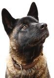 Hundeportrait Lizenzfreie Stockbilder
