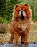 Hundeporträt Chow Chow 2 Lizenzfreies Stockbild