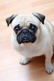 Hundepug auf einem Parkett Lizenzfreies Stockfoto