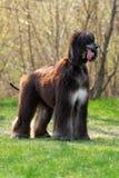 Hunderasse-Afghanenstände Lizenzfreie Stockfotografie