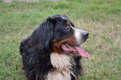 Hunderasse Berner Sennenhund Stockbild