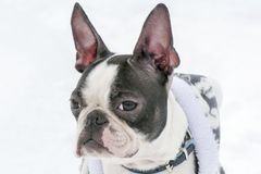 Hunderasse Boston Terrier stockfotografie