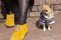 Hunderasse-Chihuahua in der Kleidung, die an den Füßen des Meisters sitzt Stockfoto