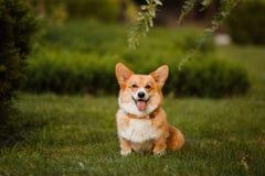 Hunderasse Corgi auf dem Gras lizenzfreie stockbilder