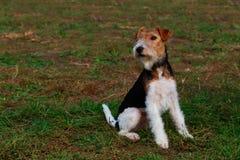 Hunderasse-Foxterriersitzen stockfotografie