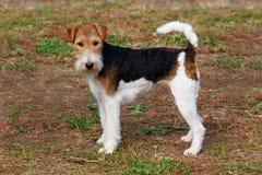 Hunderasse-Foxterrierstand lizenzfreie stockfotografie