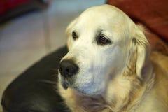 Hunderasse-golden retriever Lizenzfreie Stockfotografie