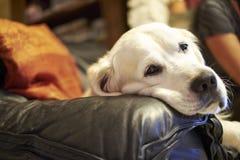 Hunderasse-golden retriever Lizenzfreies Stockbild