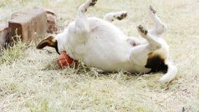 Hunderasse Jack Russell Terrier, der im Gras auf dem Rasen spielt stock footage
