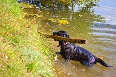 Hunderasse Labrador heraus auf dem Strand mit einem Stock in seinem Mund Stockfotos