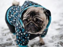 Hunderasse Pug in der Jacke Reizender Hund lizenzfreie stockfotos