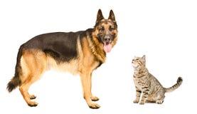 Hunderasse-Schäferhund-und Schnüffelnkatze schottisches gerades Stockfotos
