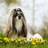 Hunderasse Shi-tzu, das auf dem Gras sitzt Stockfotografie
