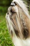 Hunderasse Shi-tzu - Porträt Stockfotografie