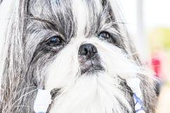 Hunderasse Yorkshire Terrier Lizenzfreies Stockfoto