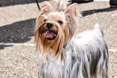 Hunderasse Yorkshire Terrier Lizenzfreie Stockfotos