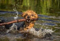 Hunderasse Yorkshires Terrier Stockbild