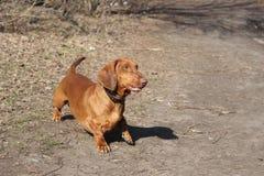 Hunderassedachshund Lizenzfreie Stockbilder
