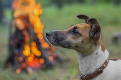 Hunderassefoxterrier im Wald auf einem Hintergrund des Feuers lizenzfreie stockfotografie