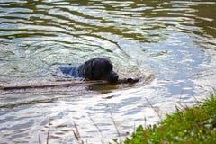 Hunderasselabrador-Schwimmen auf dem See Lizenzfreie Stockfotos