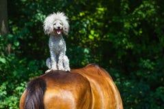 Hunderassepudel, der auf einem horse& x27 sitzt; s-Rückseite mit offenem Mund Lizenzfreie Stockfotos