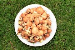 Hunderds of mushrooms Royalty Free Stock Photo