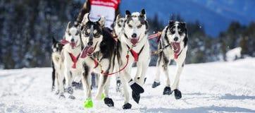 Hunderennen auf Schnee Lizenzfreies Stockbild
