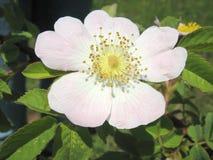 Hunderosafarbene Blume Stockfoto