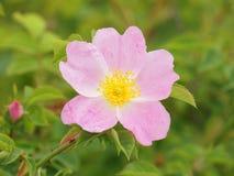 Hunderosafarbenes Blume Rosa-canina Stockfotografie