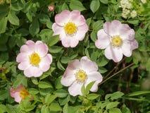 Hunderosafarbenes Blume Rosa-canina Stockbilder