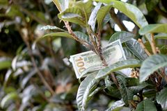 Hundert Dollarschein auf Baum Stockfotografie
