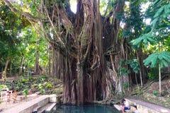 Hundertjähriger Balite-Baum bei Siquijor Stockfoto