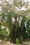 Hundertjähriger Balite-Baum bei Siquijor Lizenzfreies Stockbild