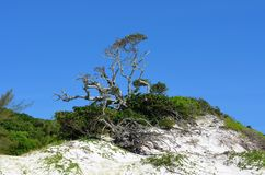 Hundertjähriger Feigenbaum Stockbild