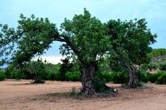 Hundertjähriger Johannisbrotbaum (Ceratonia Siliqua) lizenzfreies stockbild