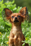Hunderusse Toy Terrier Stockfoto