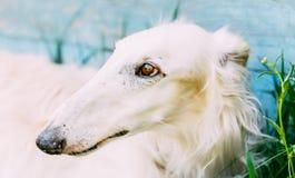 Hunderussischer Barzoi-Wolfshund lizenzfreie stockbilder