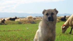 Hundeschäfer, der Schafe auf dem Gebiet weiden lässt stock video footage