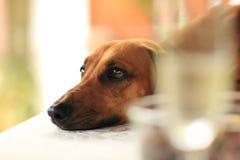 Hundeschauen Stockfoto