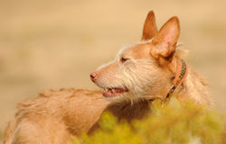 Hundeschauen Lizenzfreie Stockfotografie