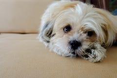 Hundeschauen Stockbild