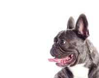 Hundeschauen der französischen Bulldogge Stockbilder