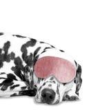 Hundeschlaf er ist sehr müde Lizenzfreies Stockbild