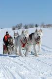 Hundeschlitten Team Racing Stockfotografie